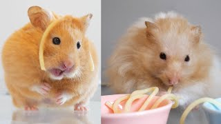Cute Hamsters Eating Spaghetti | First Meal Out after Lockdown