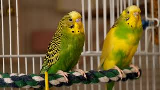 Green budgie Charlie speaks with his girlfriend. Funny parrots.  Funny birds. Parakeet.