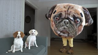 Dogs vs Giant Pug Prank! Funny Dogs Maymo & Potpie Surprised by Talking Dog