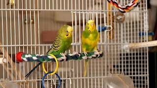 Green budgie Charlie plays near his cage. Funny parrots. Funny birds. Parakeet. Budgie. Cute parrots