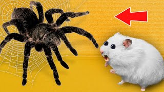 🕷Black Spider – Hamster Maze with Traps 😱 [OBSTACLE COURSE]