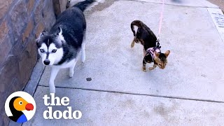 Husky Was A Spoiled Only Child — Until This Tiny Kitten Came Along  | The Dodo Odd Couples