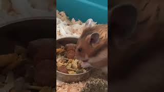 Funny hamsters videos – Part 1 #Shorts