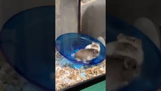 Funny Hamsters Compilation 🐹  Cute and Funny moments💚 #Short