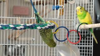 Green budgie plays near his cage. Funny parrots. Funny birds. Budgie. Parrot. Parakeet
