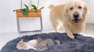 Golden Retriever Shocked by a Kittens occupying his bed!