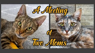 """A Meeting of Two Moms — (Kitten Academy Momcats """"Rue"""" and """"Mural"""")"""
